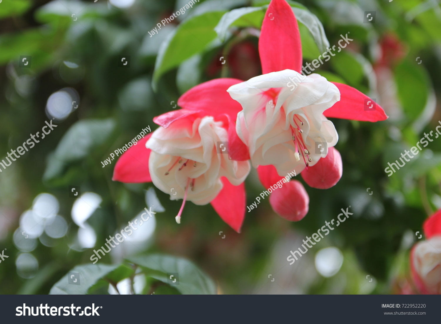 One most beautiful flowers begonia garden stock photo royalty free one of the most beautiful flowers in begonia garden of nabana no sato flower park in izmirmasajfo