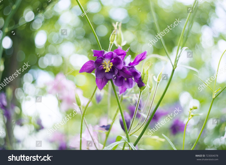 Photo Purple Flowers Garden Common Names Stock Photo Royalty Free