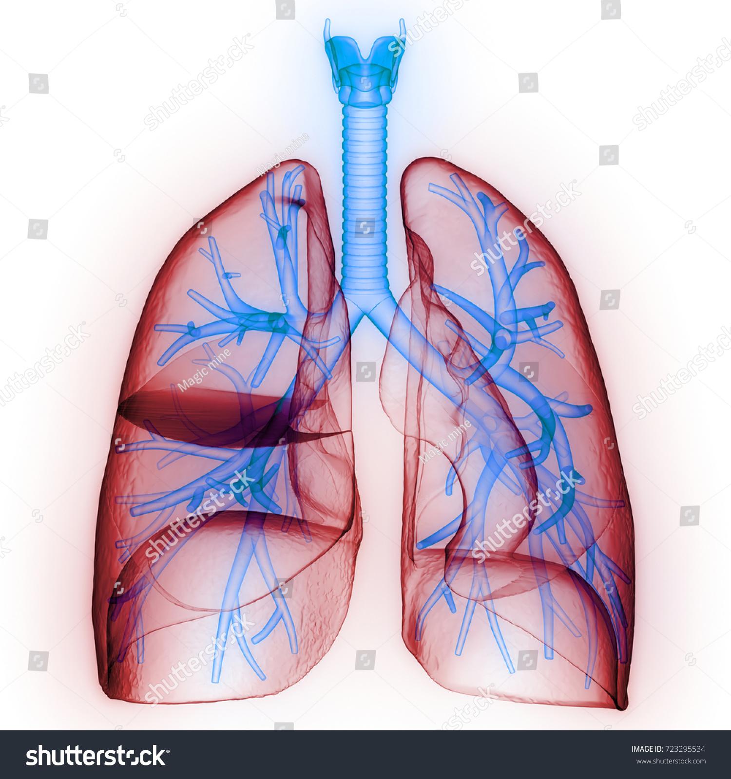 Human Lungs Inside Anatomy Larynx Trachea Stock Illustration ...