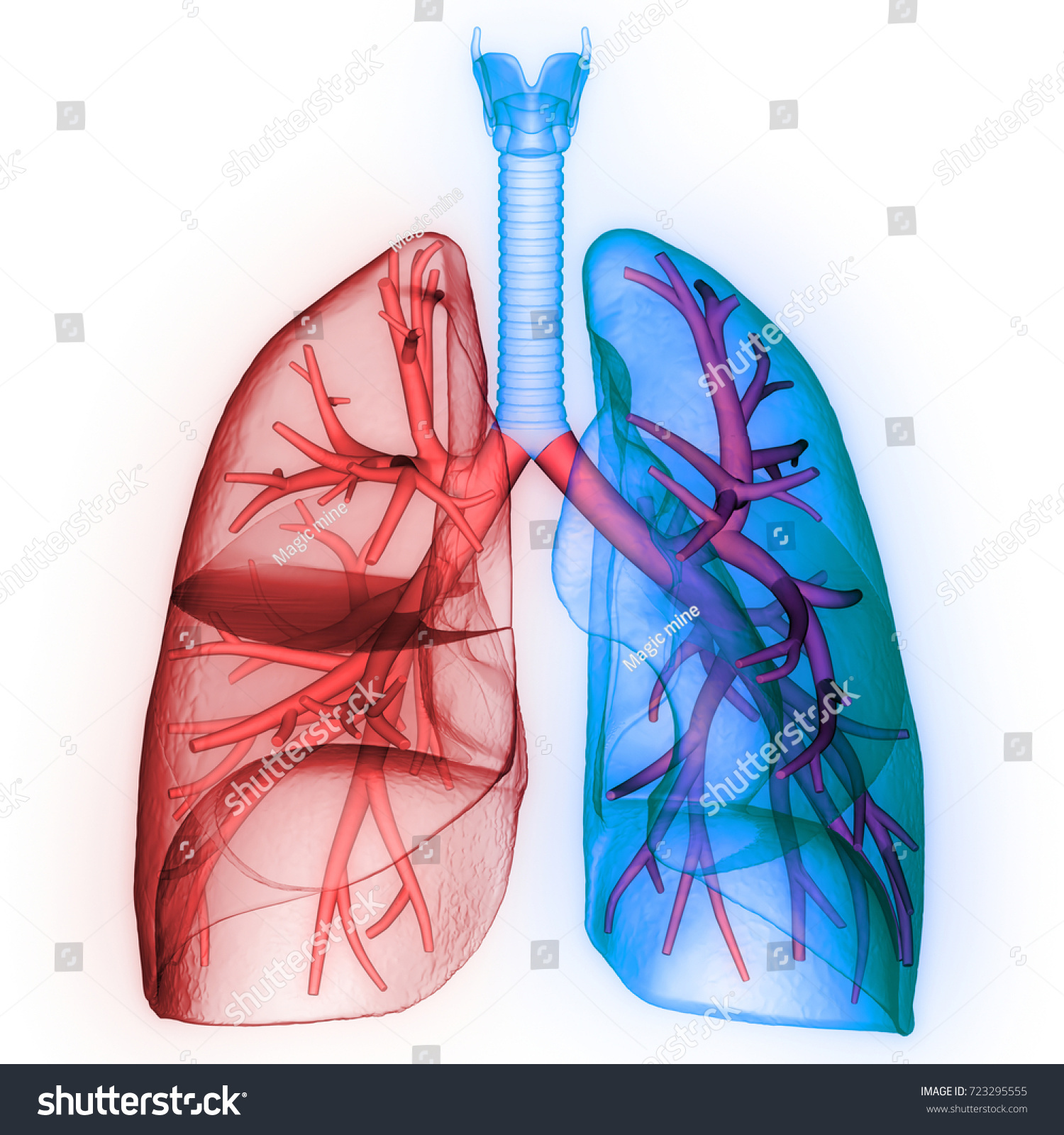 Human Lungs Inside Anatomy Larynx Trachea Stock Illustration
