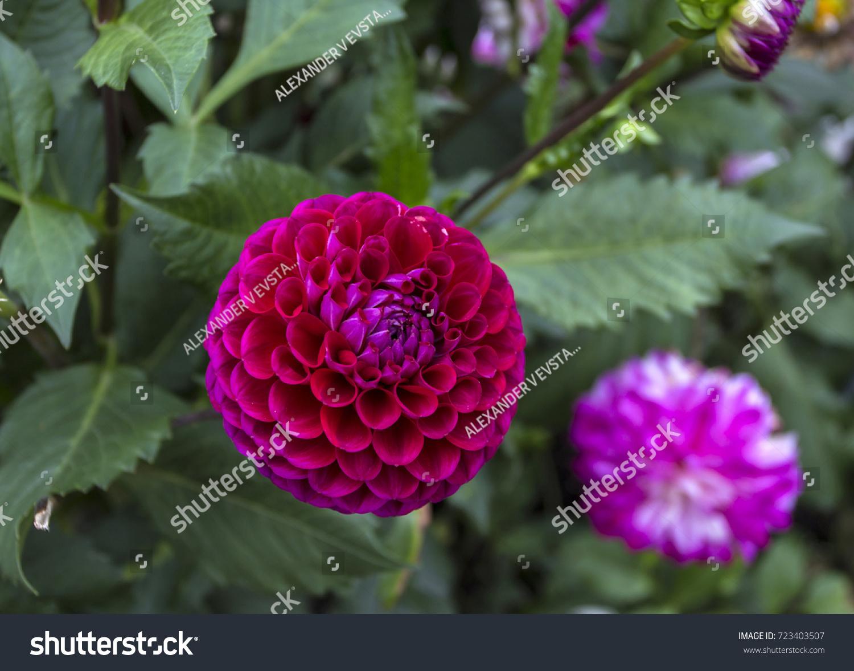 Dahlias flowers on the bush ez canvas id 723403507 izmirmasajfo