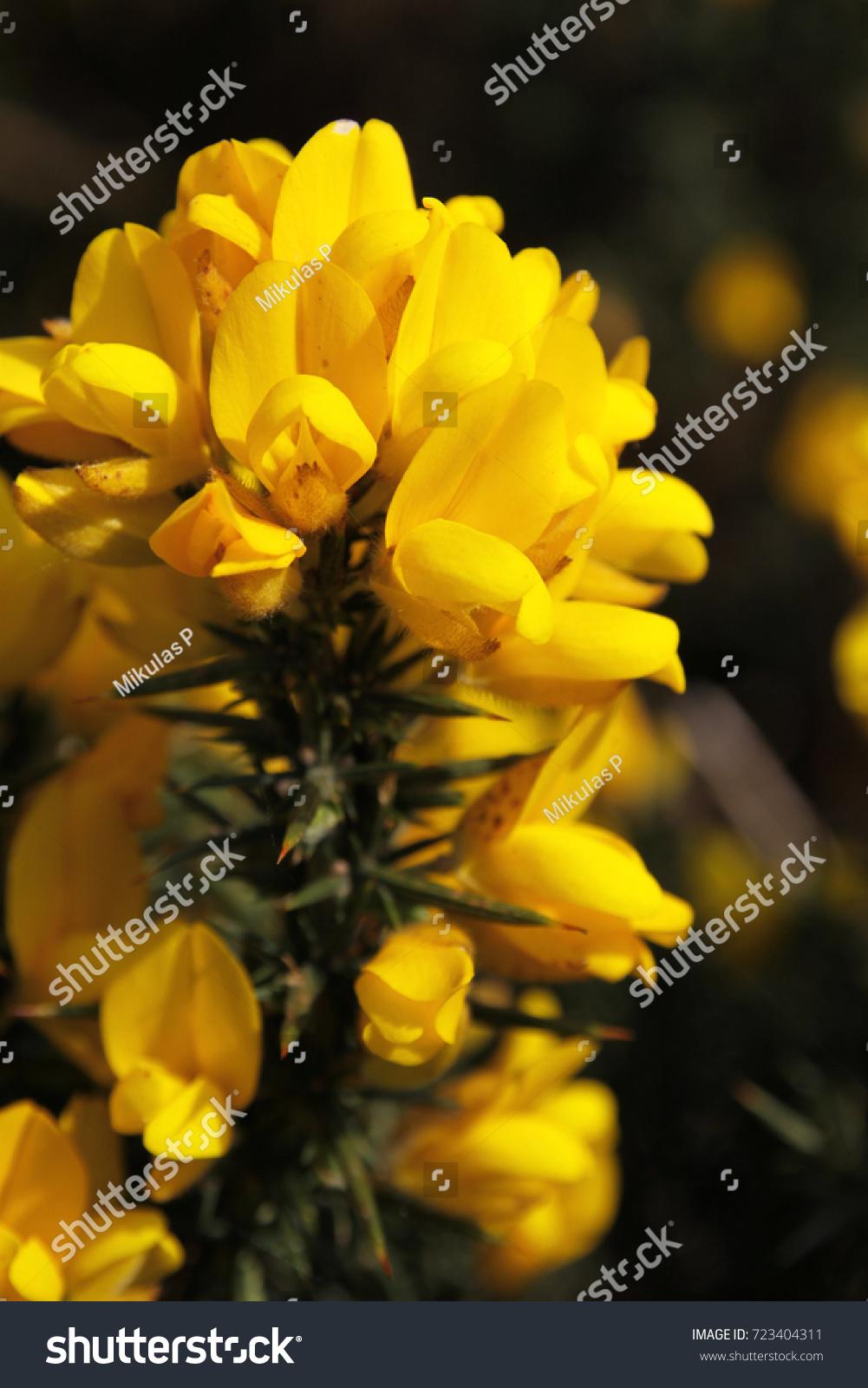 Detail Common Gorse Shrub Straight Spikes Stock Photo Safe To Use