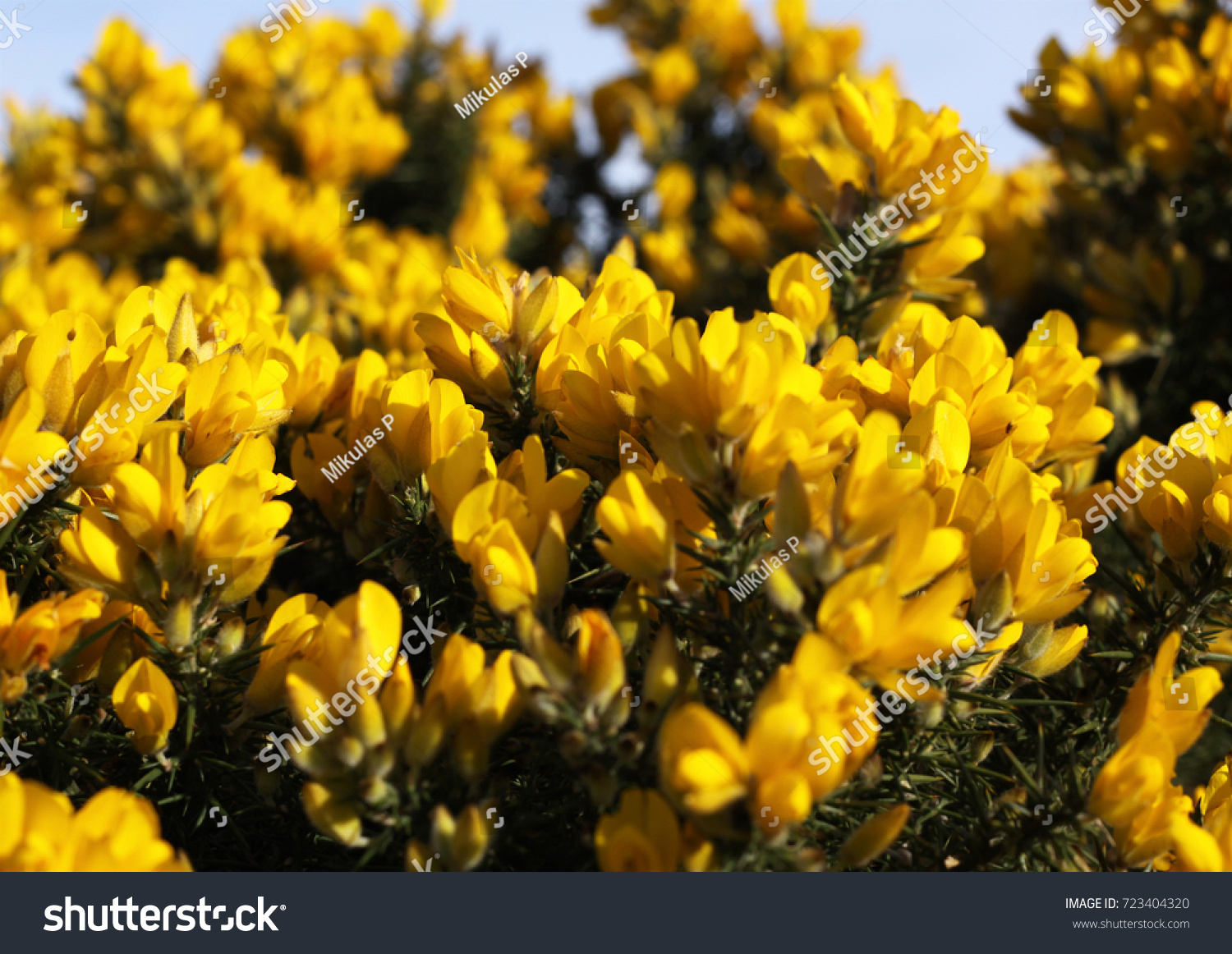 Detail Common Gorse Shrub Straight Spikes Stock Photo Edit Now