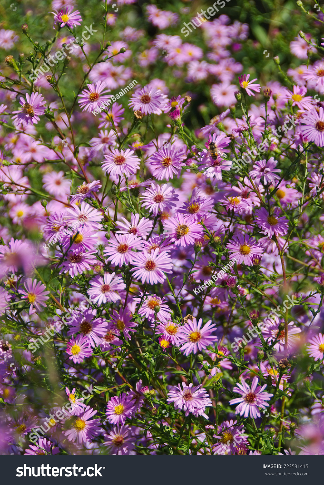 Perennial Pink Aster Fall Flowers In Daylight Ez Canvas
