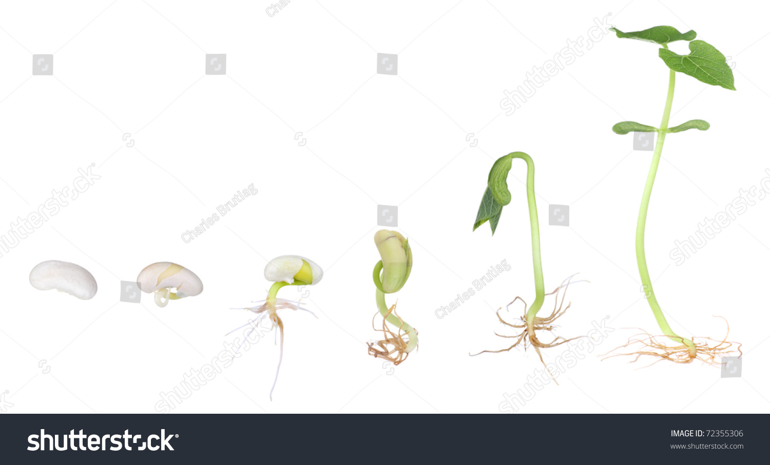 bean plant growing seed seedling isolated stock photo