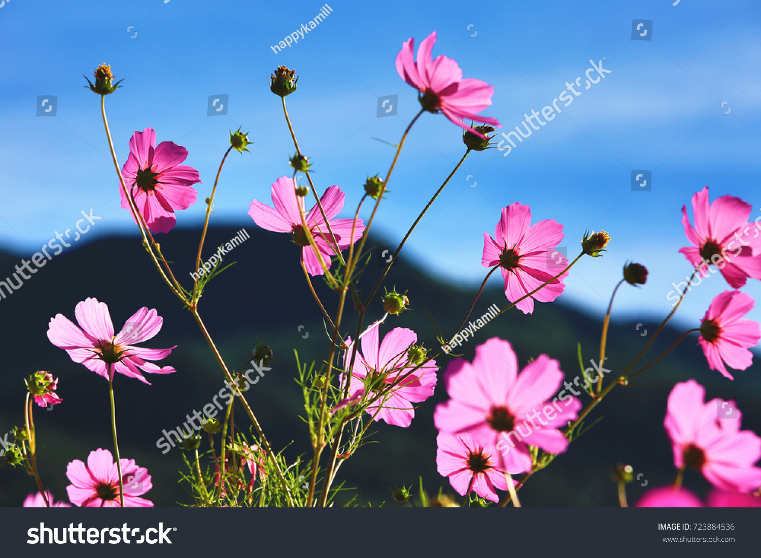 Beautiful scenery cosmos flowers buds blue stock photo edit now beautiful scenery of cosmos flowers and buds with blue sky backgroundcloseup izmirmasajfo