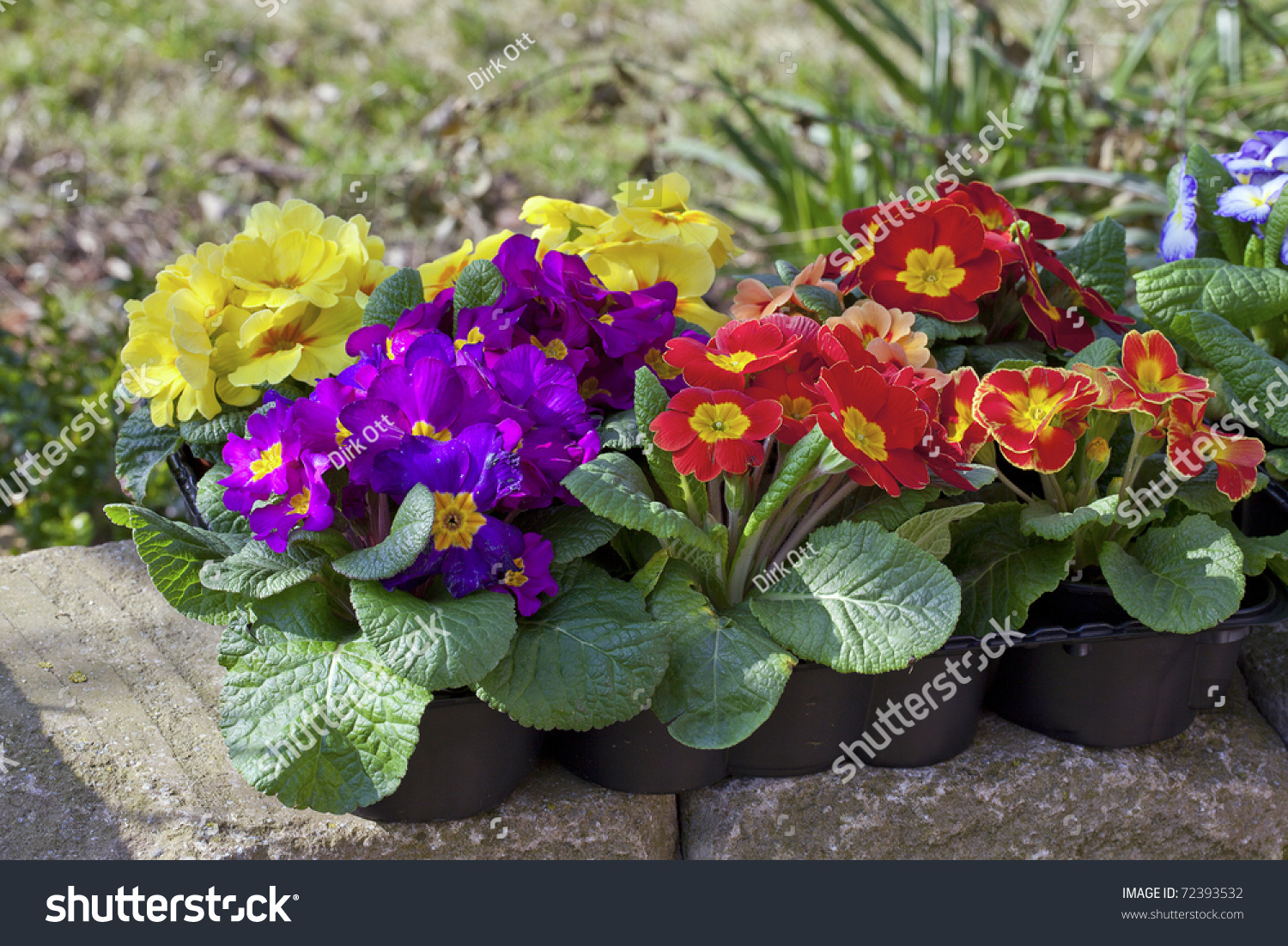 Colorful Primroses Polyanthus Ready For Planting In The