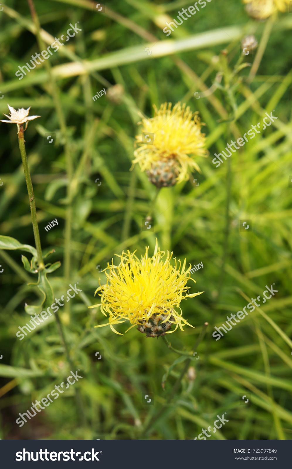 Centaurea Orientalis Yellow Starthistle Flowers Green Stock Photo