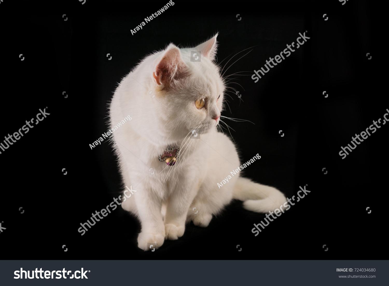 White Cat Breeds British Shorthair Stock