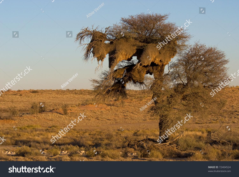 Kalahari Acacia Tree Desert Landscape Stock Photo 72404524 ...