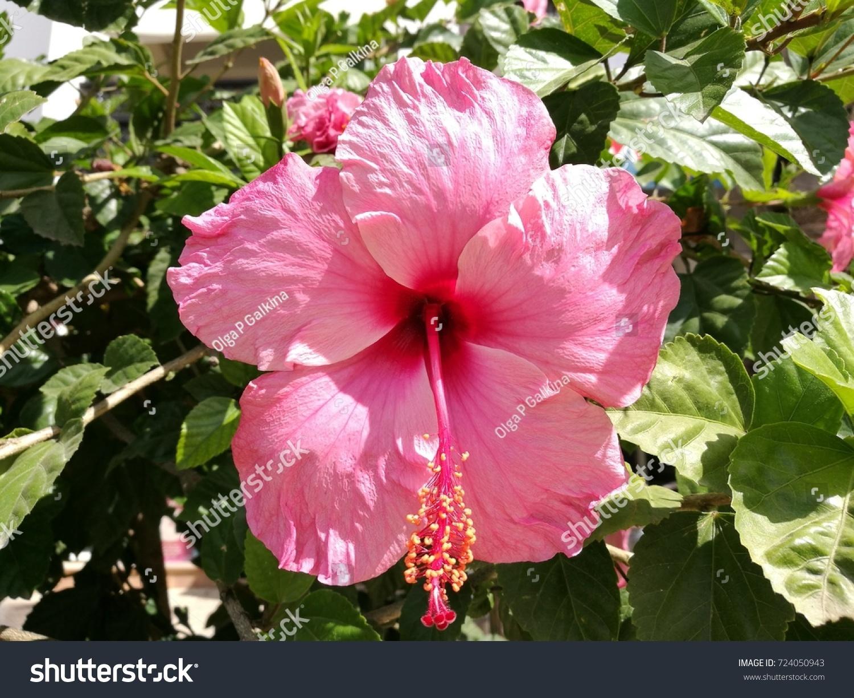 Pink hibiscus flower closeup ez canvas id 724050943 izmirmasajfo