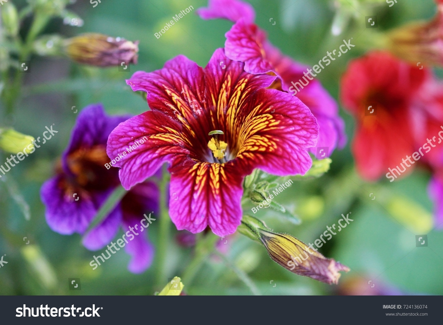 Dark Pink And Purple Flowers With Yellow Stripes And A Blurred Green