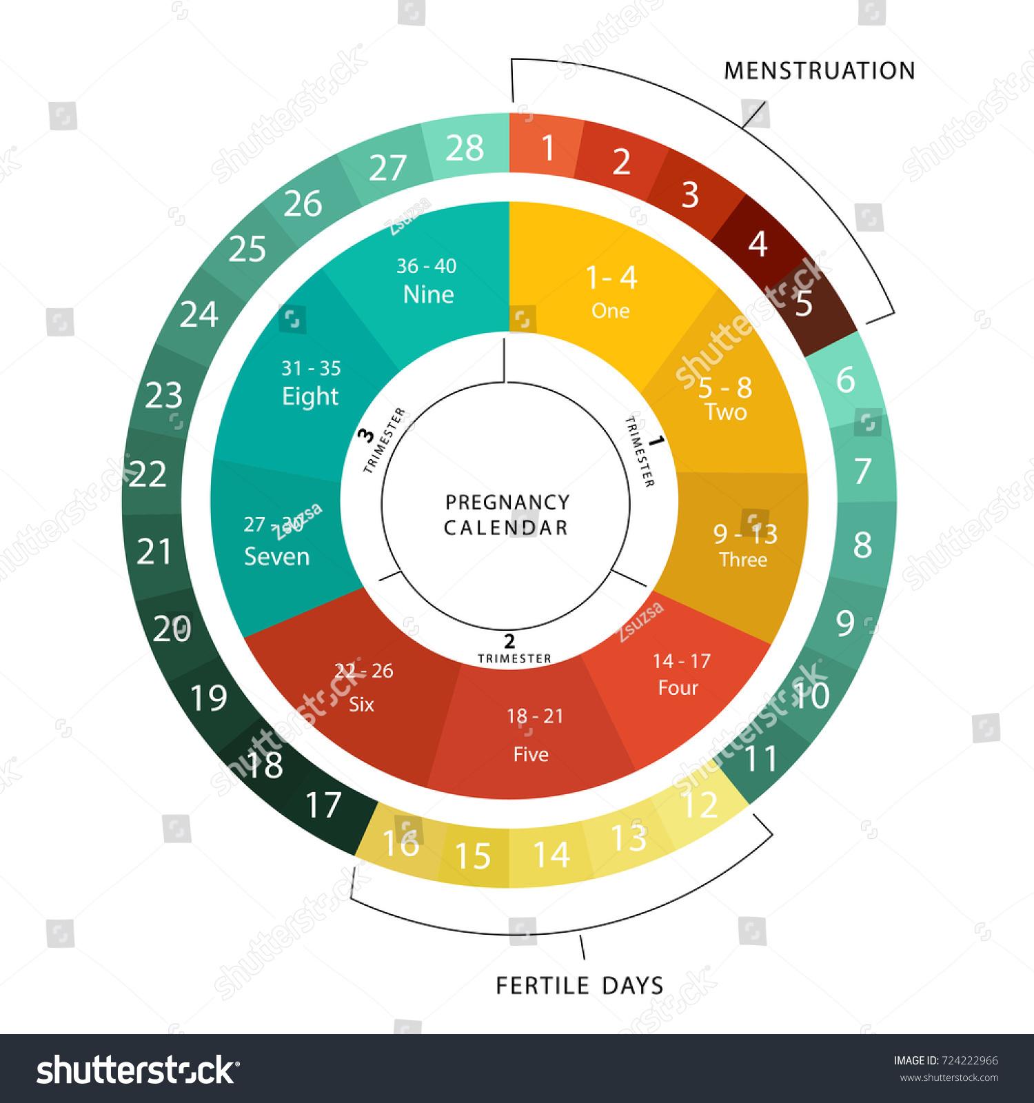 pregnancy menstural calendar circle design color stock vector