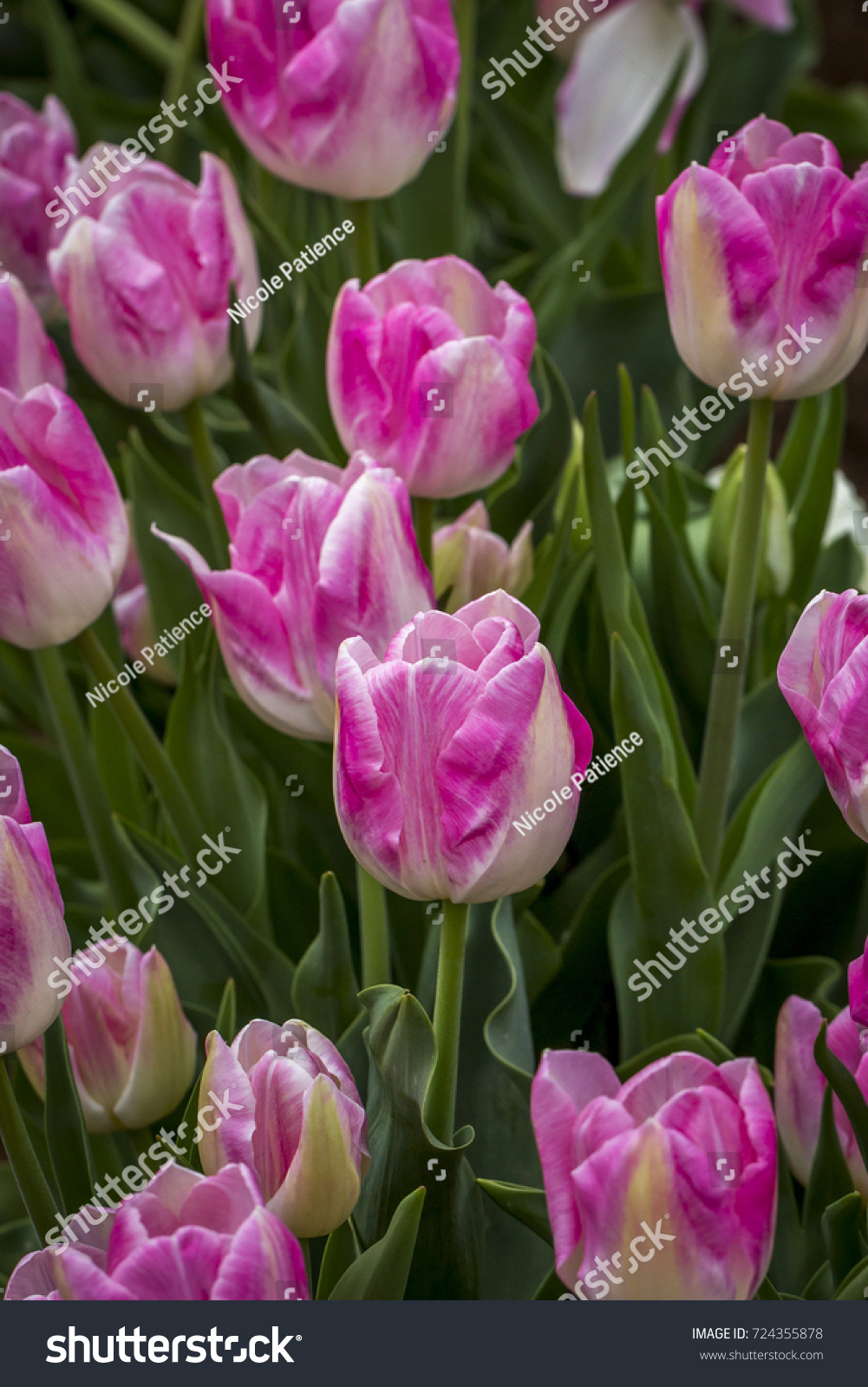 Bright Pink White Tulip Flowers Rural Stock Photo Safe To Use