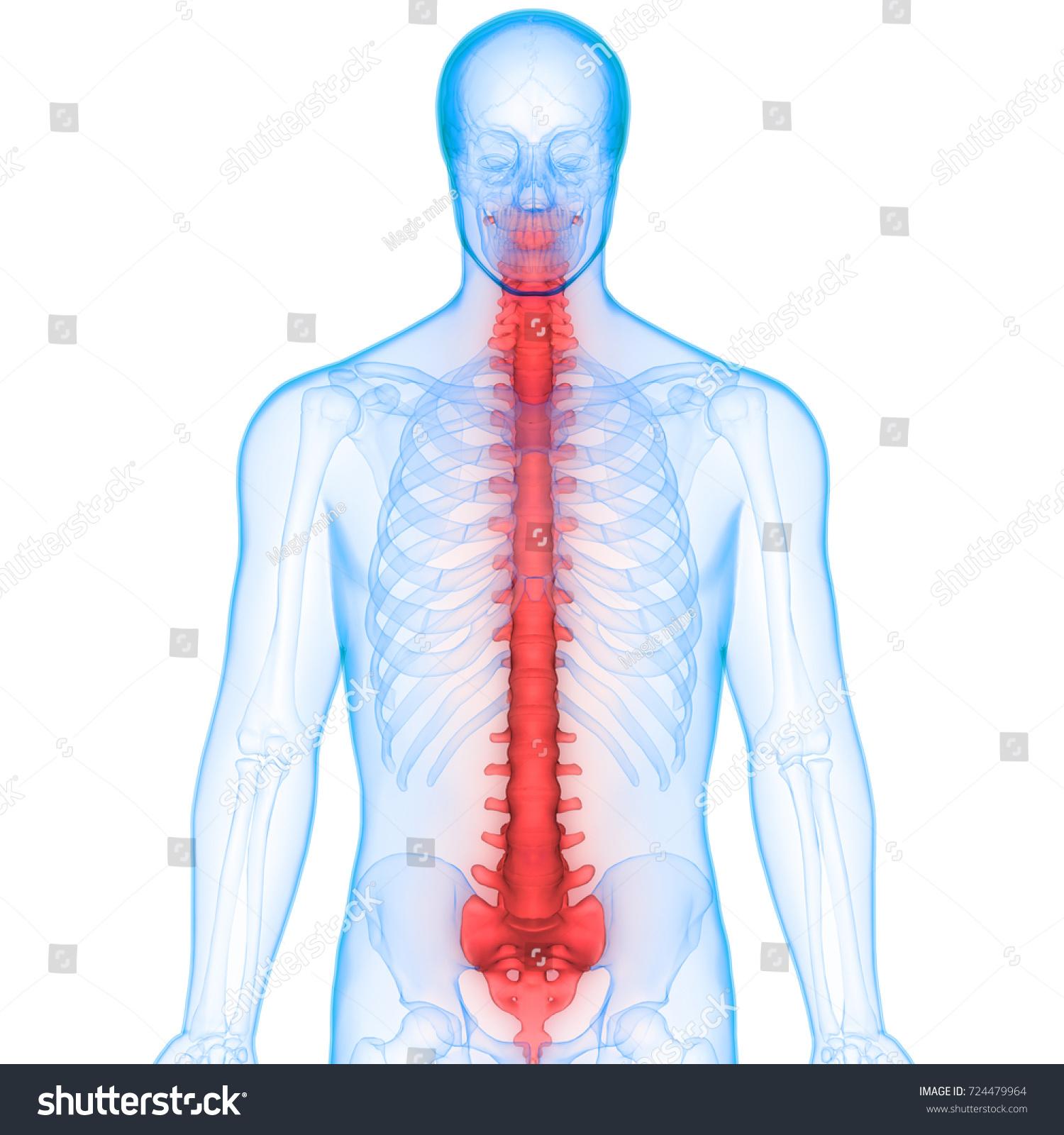 Human Skeleton Vertebral Column Anatomy 3 D Stock Illustration ...