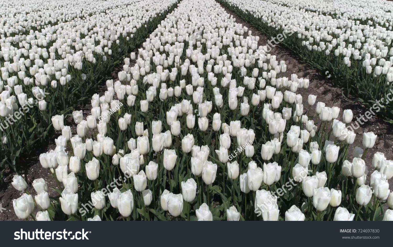 Aerial Bird View Photo White Tulip Stock Photo Edit Now 724697830