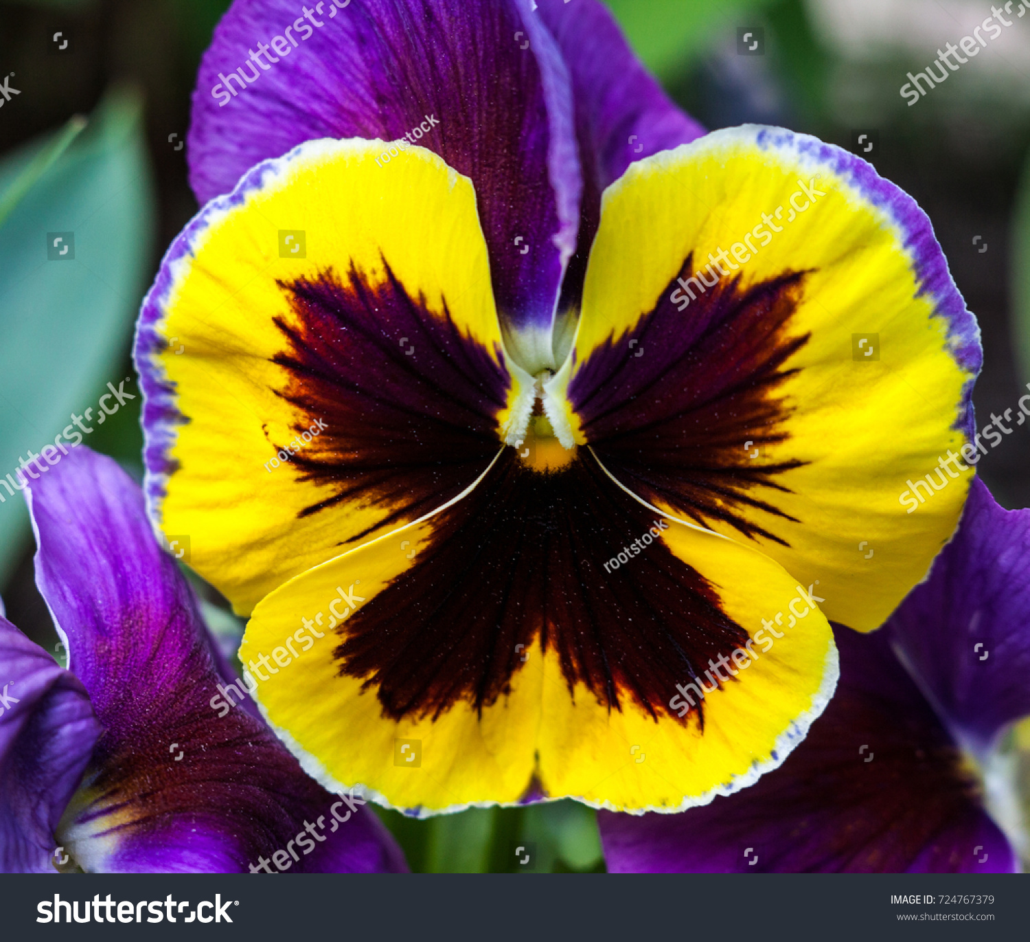 Purple Yellow Pansy Flower Viola Tricolor Stock Photo Royalty Free
