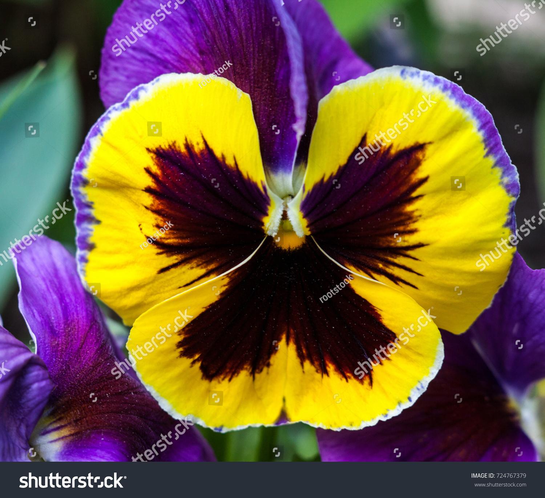 Purple Yellow Pansy Flower Viola Tricolor Stock Photo Edit Now