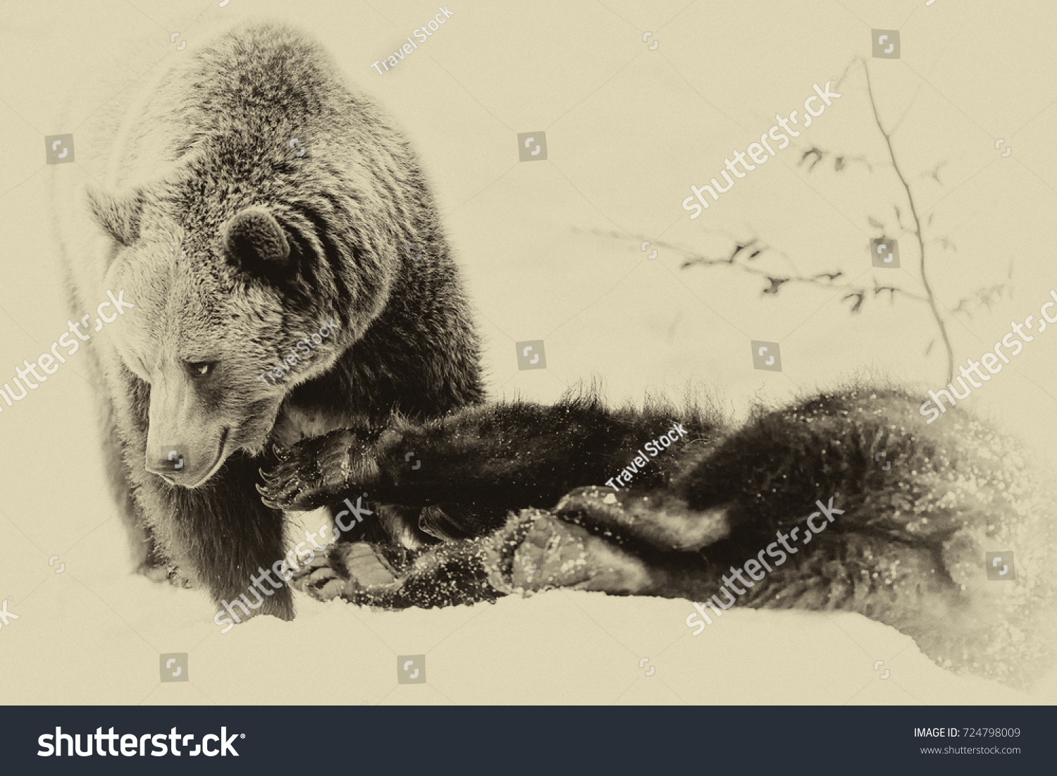 Brown Bears (Ursus arctos) in Lake Clark National Park, Alaska, USA #724798009