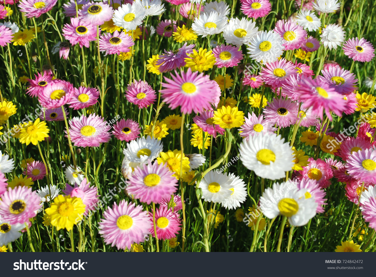 Australian Native Paper Daisy Flowers In Yellow Pink And White Ez