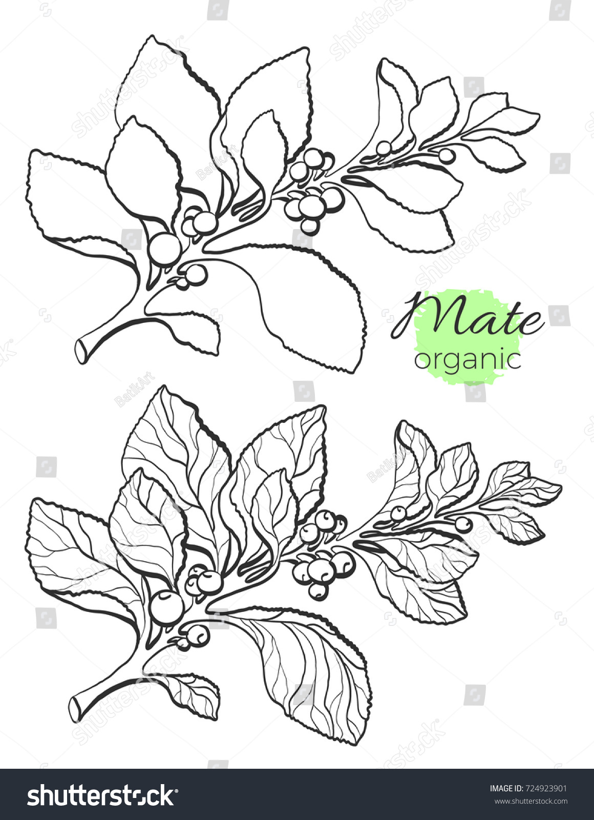vector collection hand drawn mate branches stock vector 724923901