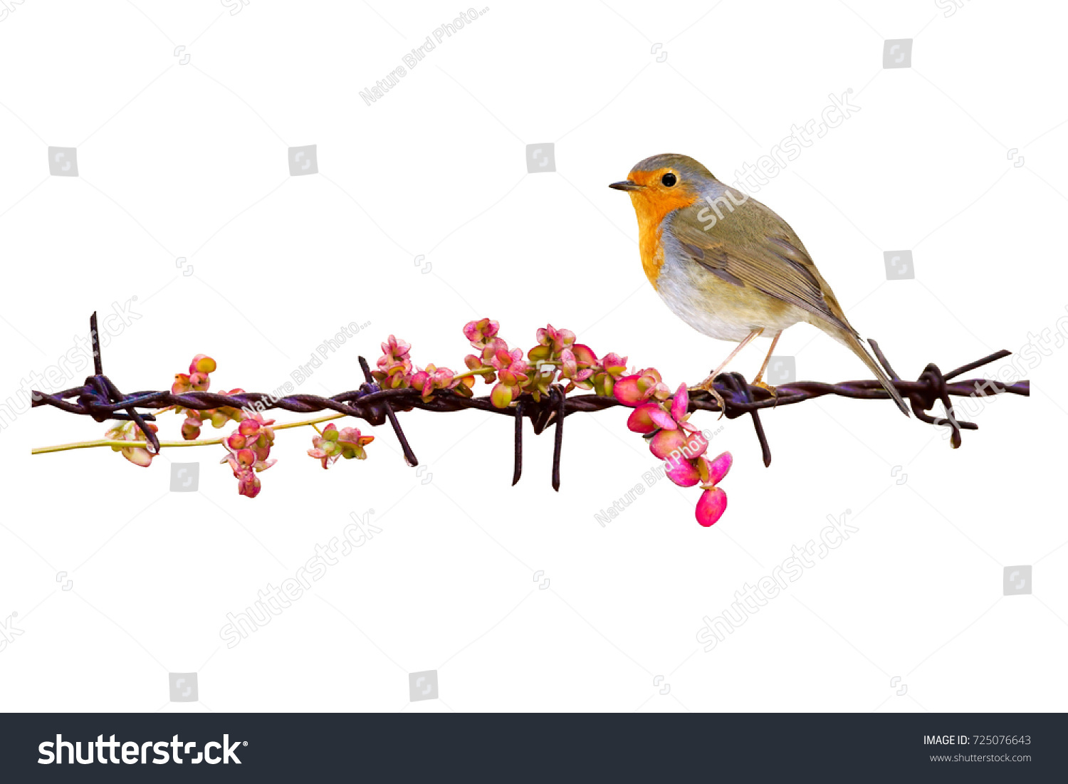 Isolated Cute Bird Barbed Wire White Stock Photo 725076643 ...