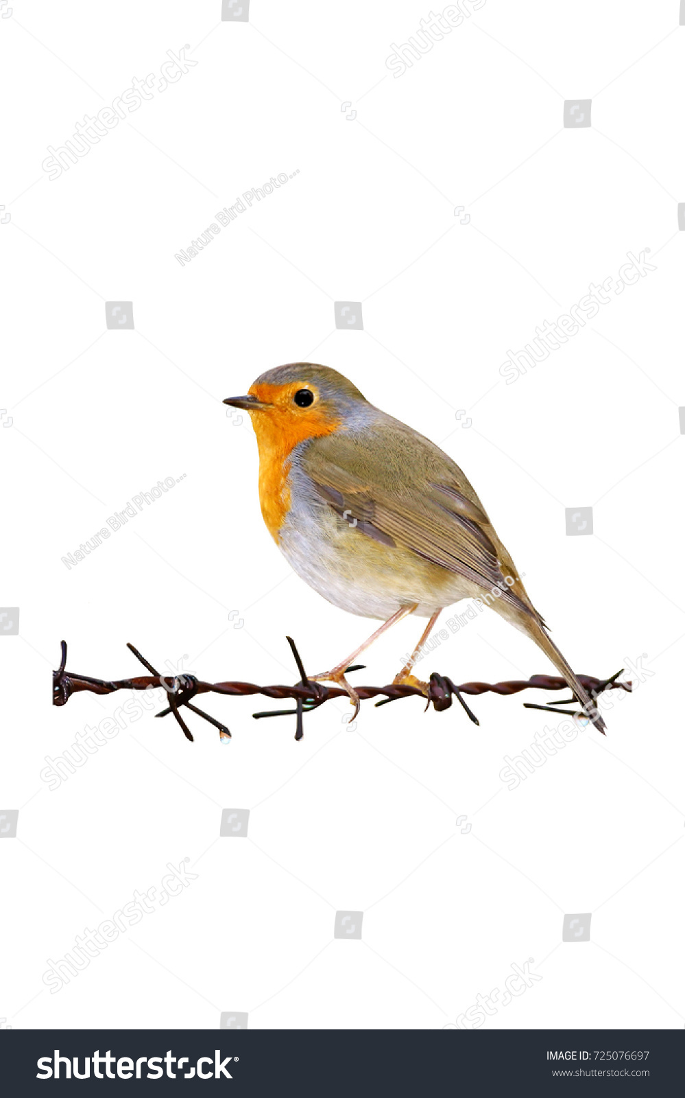 Isolated Cute Bird Barbed Wire White Stock Photo 725076697 ...