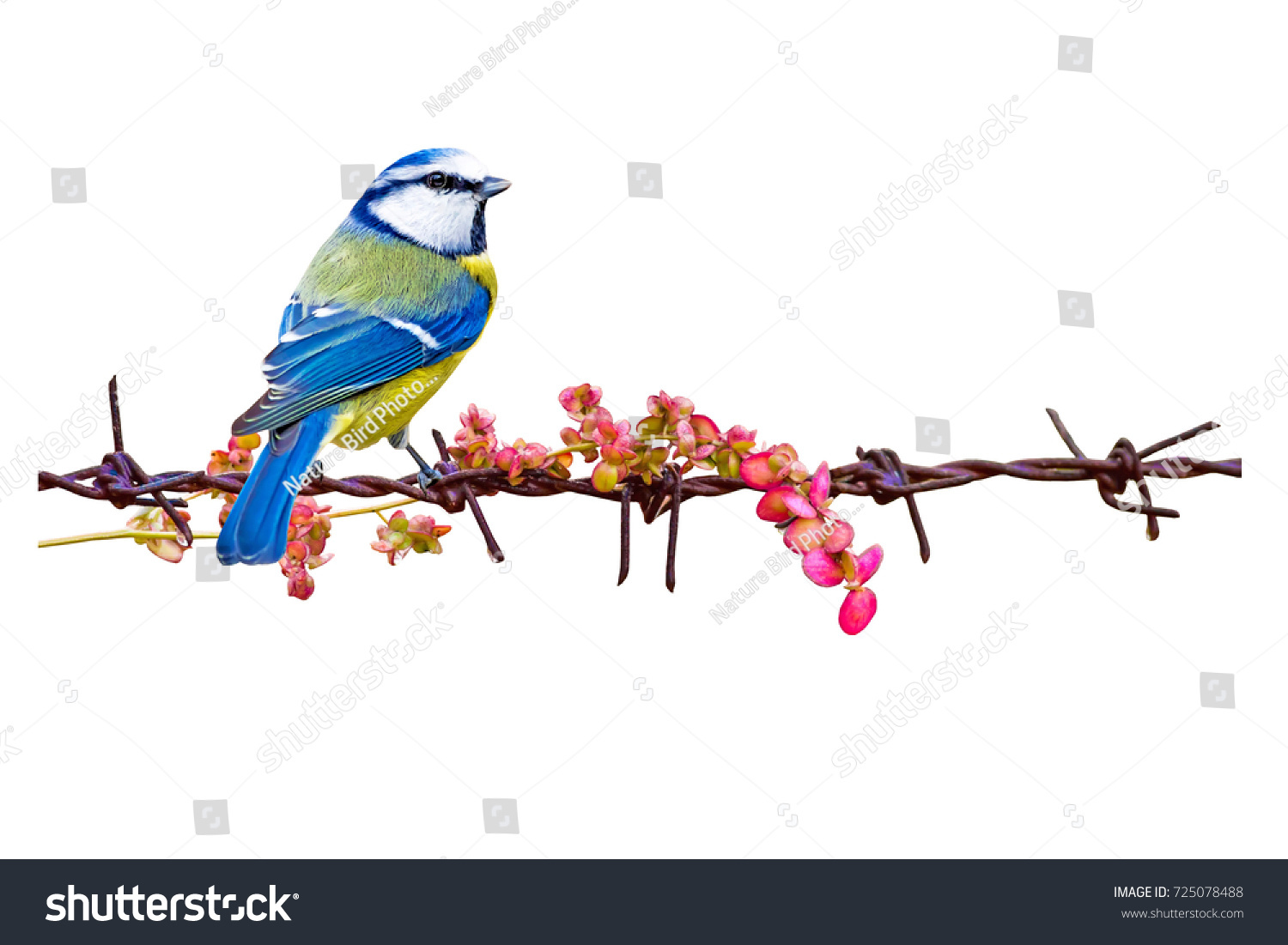 Isolated Cute Bird Barbed Wire White Stock Photo (Safe to Use ...
