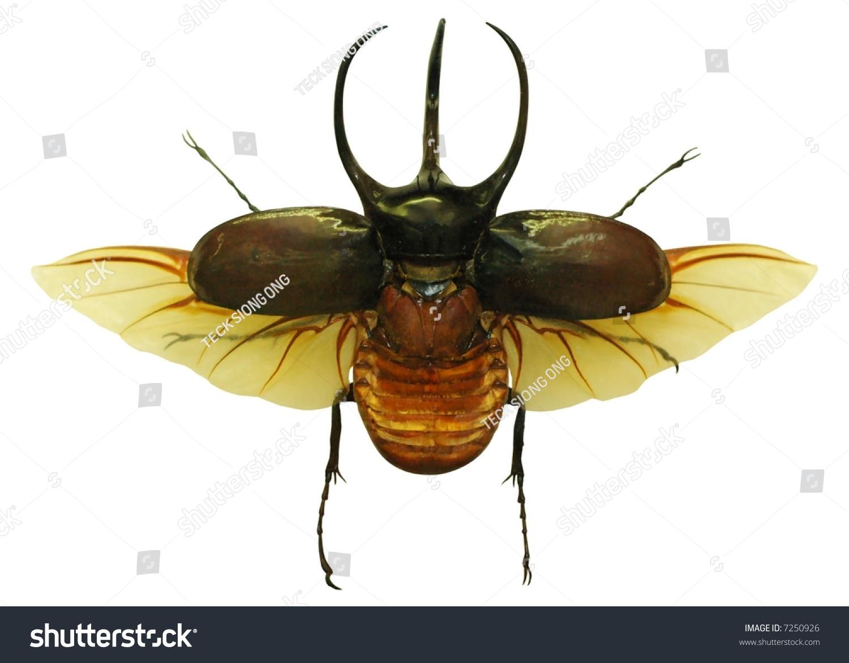 Large Rhino Beetle Wings Wide Open Stock Photo 7250926 ...