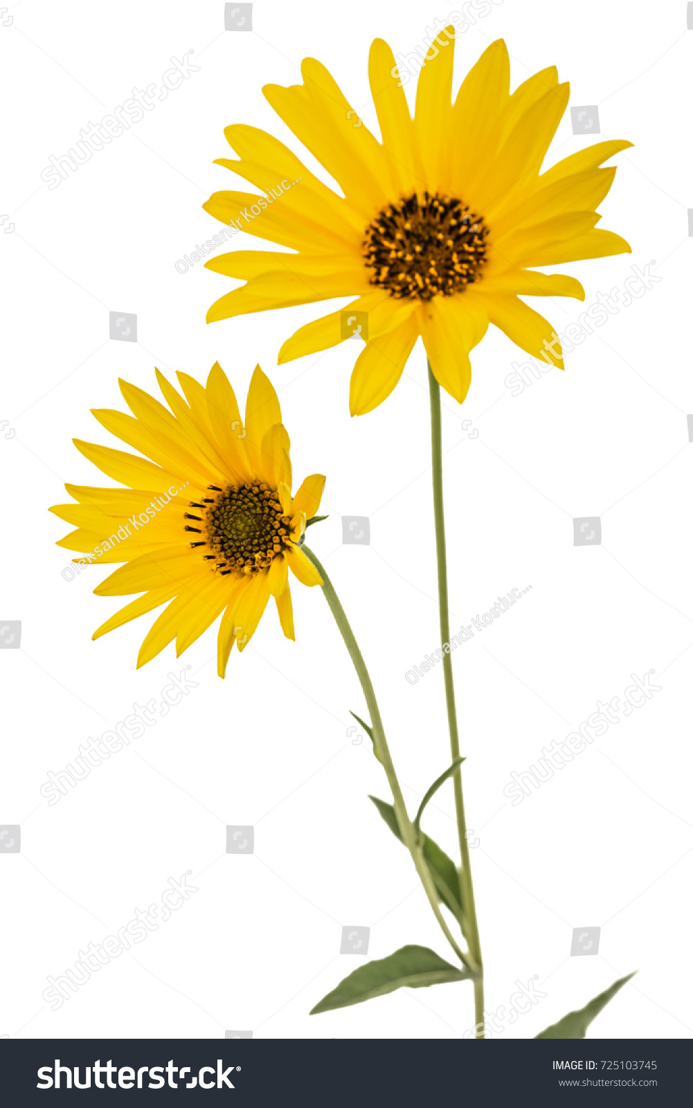 Two Yellow Flowers Isolated On White Background Ez Canvas