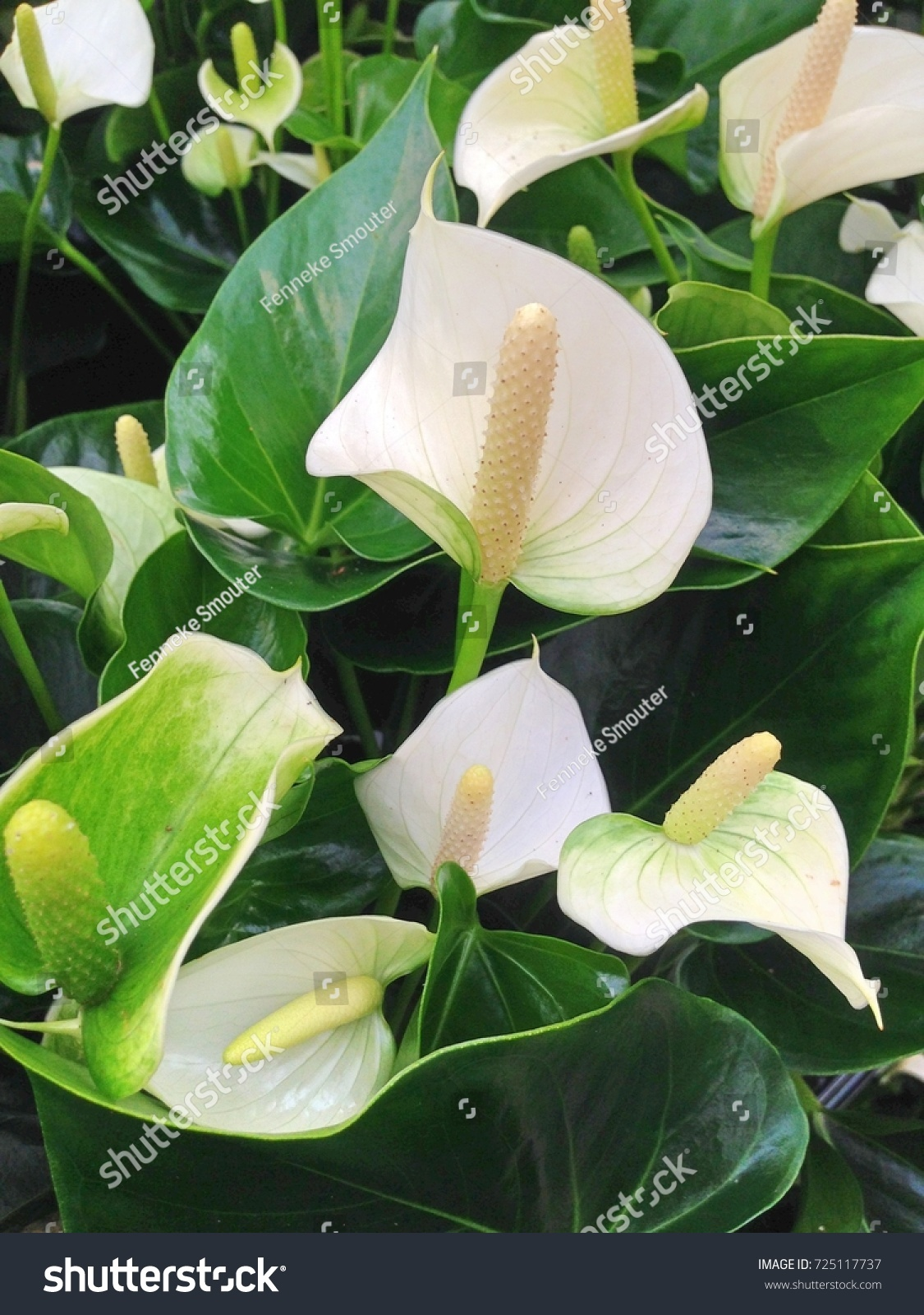 Wonderful White Anthurium Flowers Dark Green Stock Photo Safe To