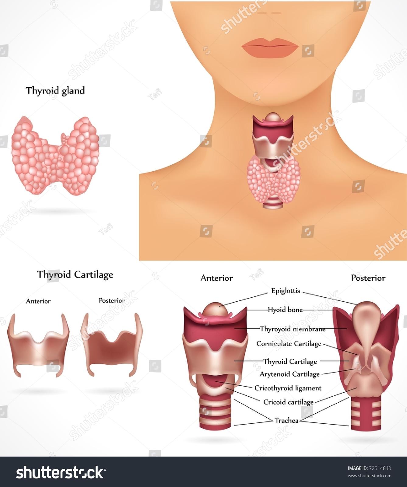 Thyroid Gland Epiglottis Trachea Detailed Anatomy Stock Illustration ...