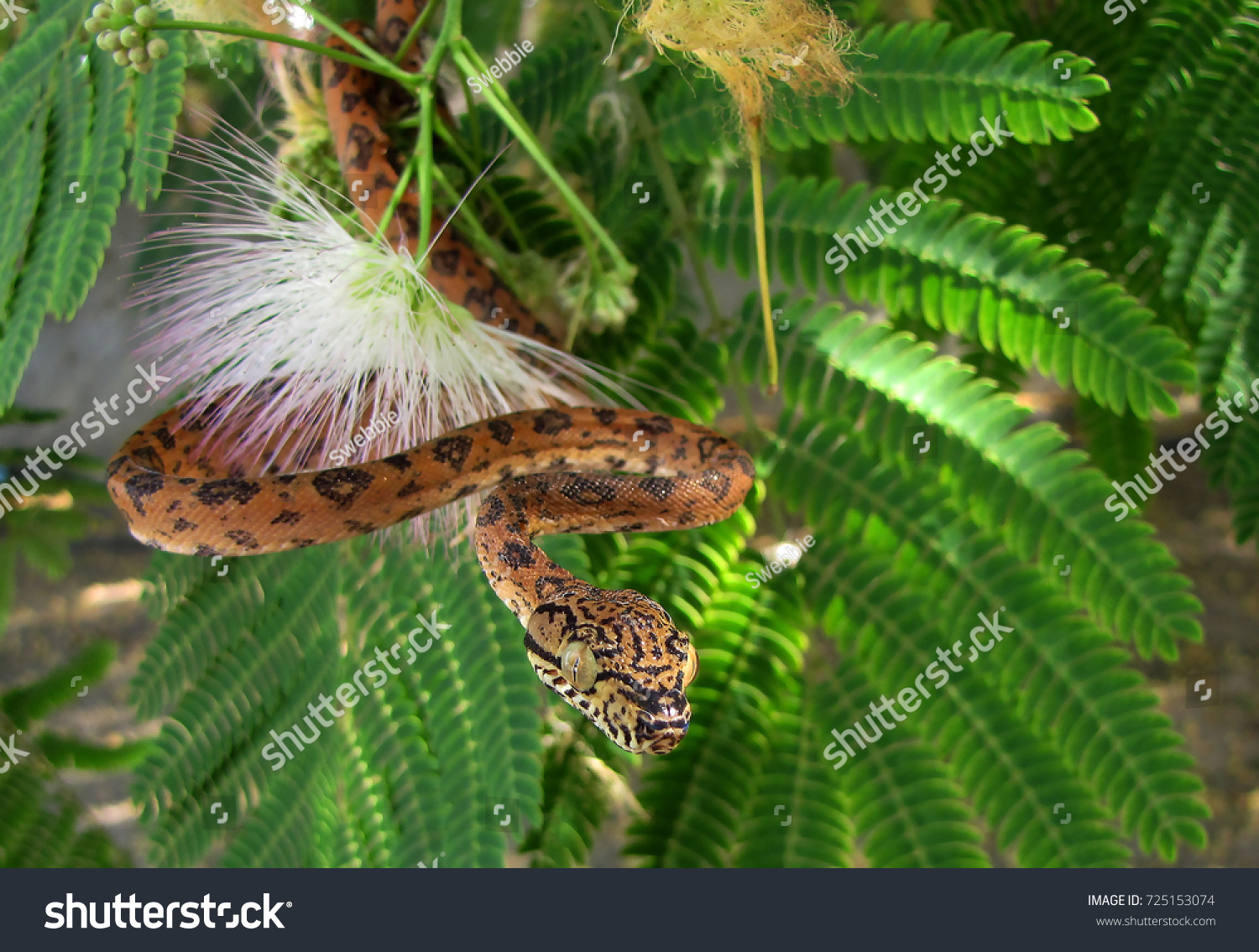 Orange Black Amazon Tree Boa Tree Stock Photo 725153074 - Shutterstock