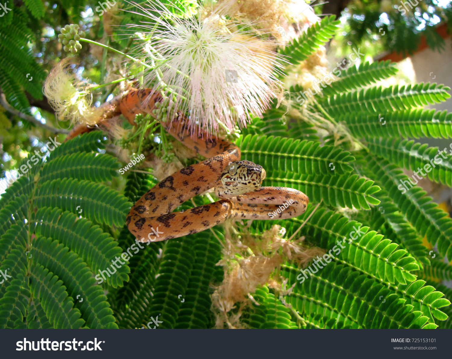Orange Black Amazon Tree Boa Pretty Stock Photo (Royalty Free ...