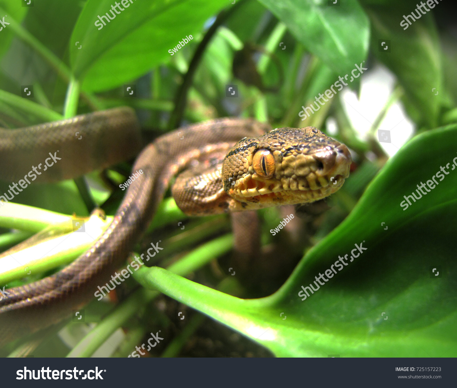 Amazon Tree Boa Coiled Ready Strike Stock Photo 725157223 - Shutterstock
