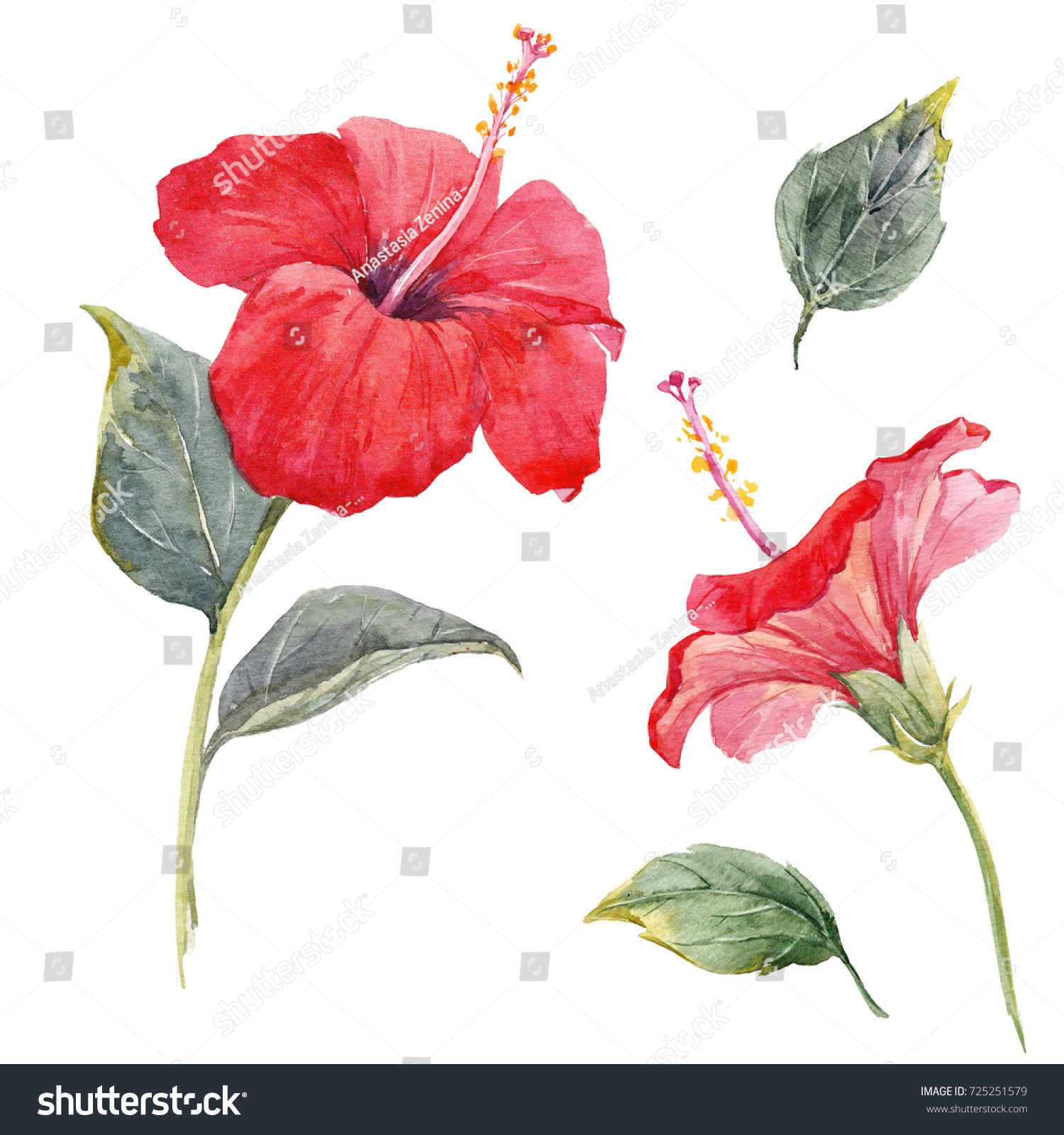 Watercolor Tropical Flower Red Hibiscus Leaves Stock Illustration