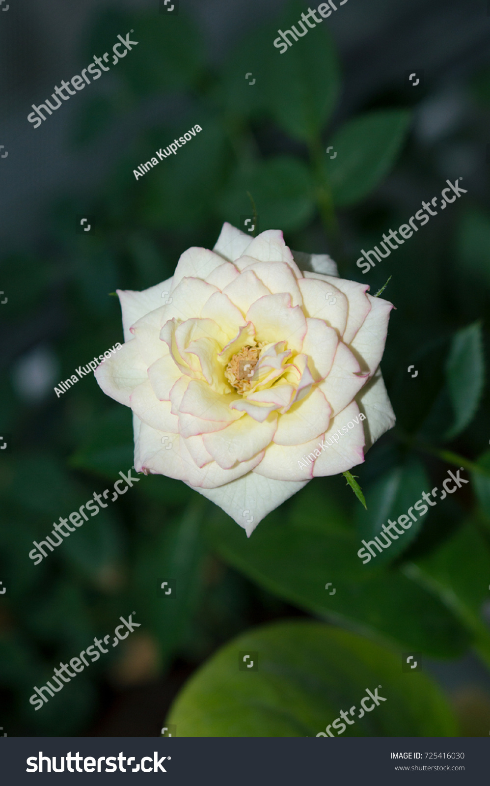 Light Yellow Rose Flower Pink Edges Stock Photo Download Now