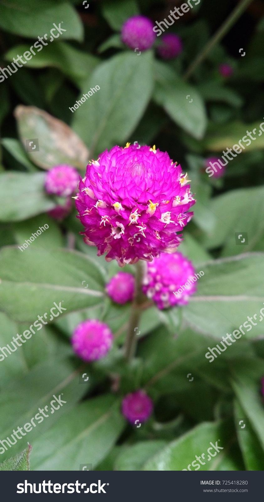 Deep pink flowers like ball stock photo edit now 725418280 deep pink flowers is like a ball mightylinksfo
