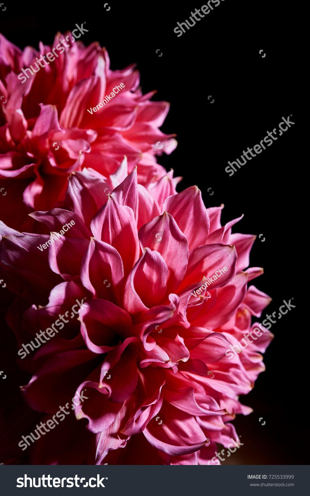 Pink Big Flowers Dahlias On Black Stock Photo Edit Now 725533999