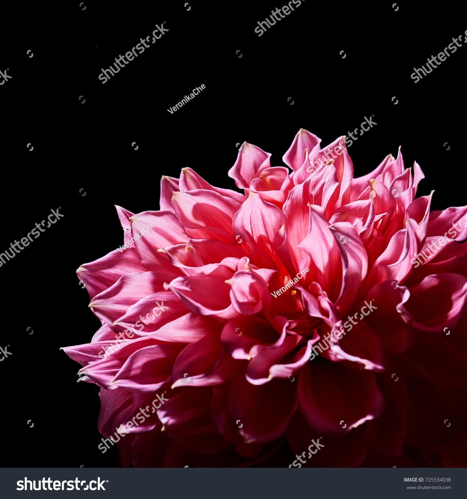 Pink Big Flowers Dahlias On Black Stock Photo Edit Now 725534038