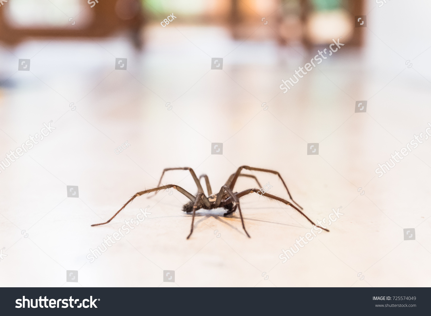 Common House Spider On A Smooth Tile Floor Seen From Ground Level In A  Kitchen In