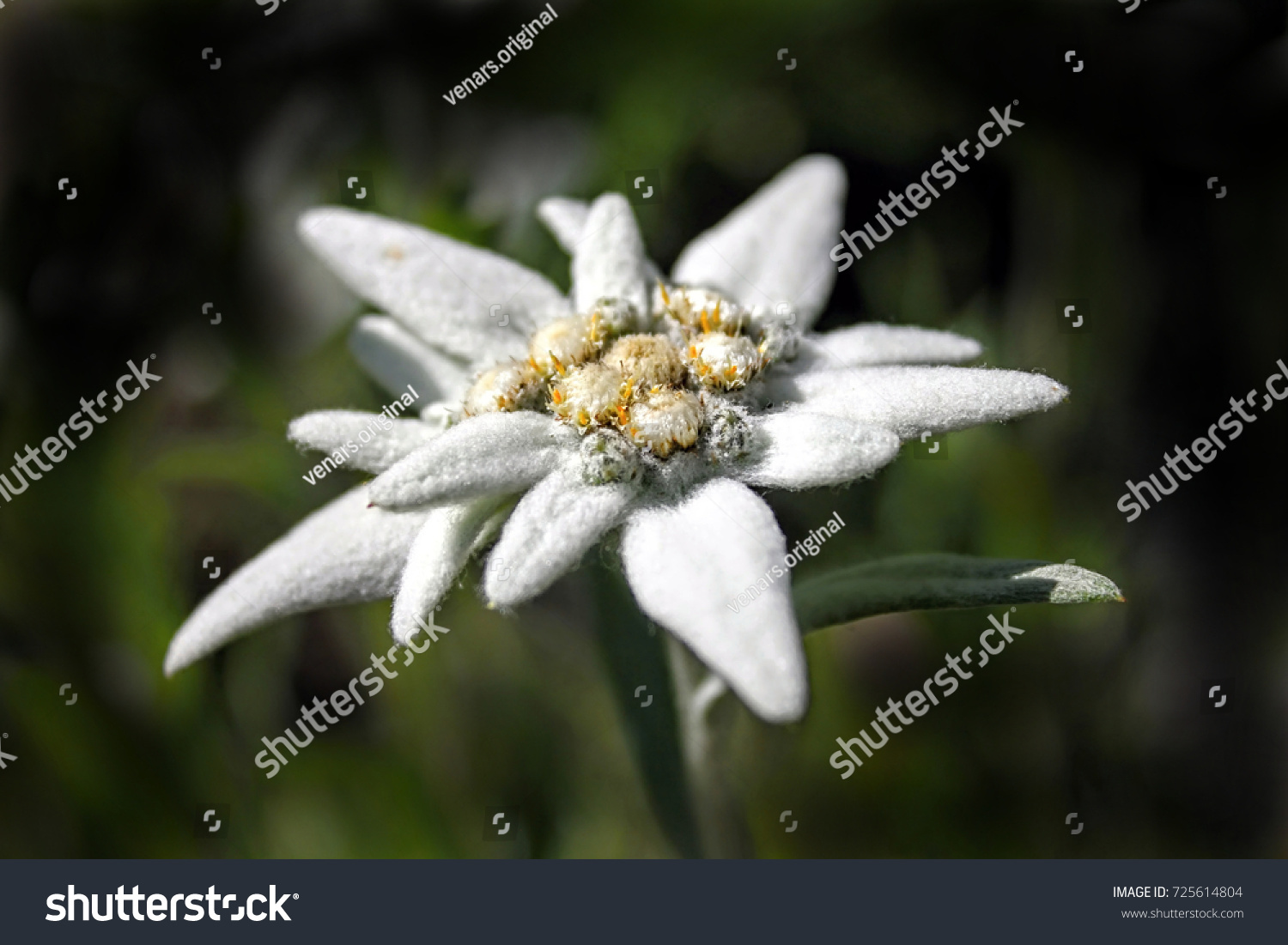 Alpine edelweiss leontopodium alpinum rare protected stock photo alpine edelweiss leontopodium alpinum rare and protected white mountain flower mightylinksfo