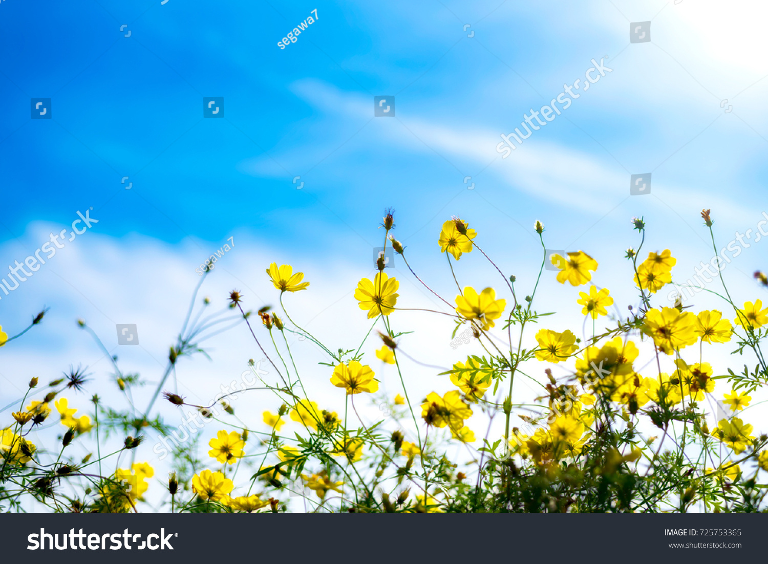 Beautiful scenery cosmos flowers buds blue stock photo edit now beautiful scenery of cosmos flowers and buds with blue sky background izmirmasajfo