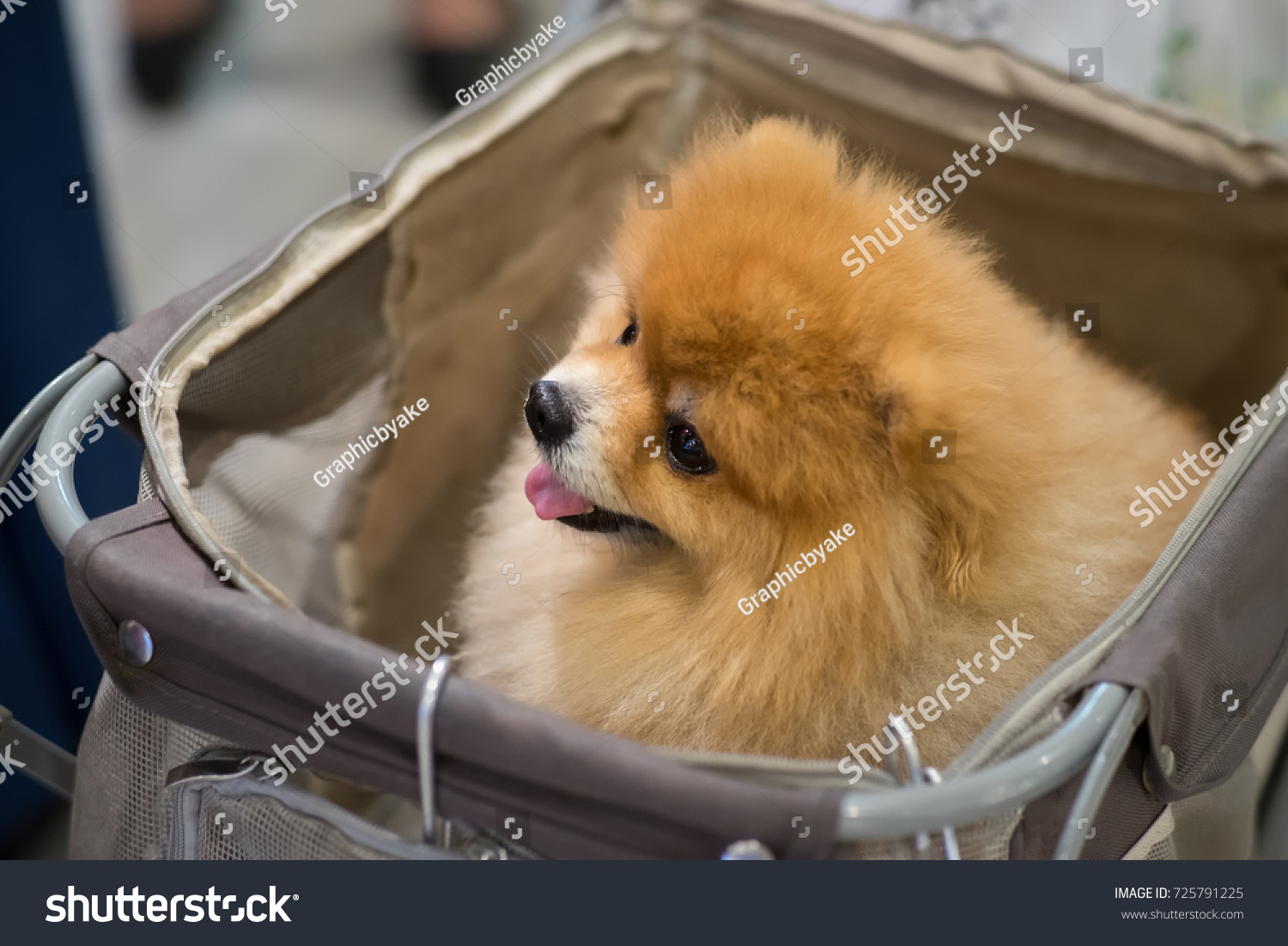 Amazing Pomeranian Brown Adorable Dog - stock-photo-pomeranian-cute-dog-sit-in-the-trolley-in-supermarket-725791225  2018_292085  .jpg