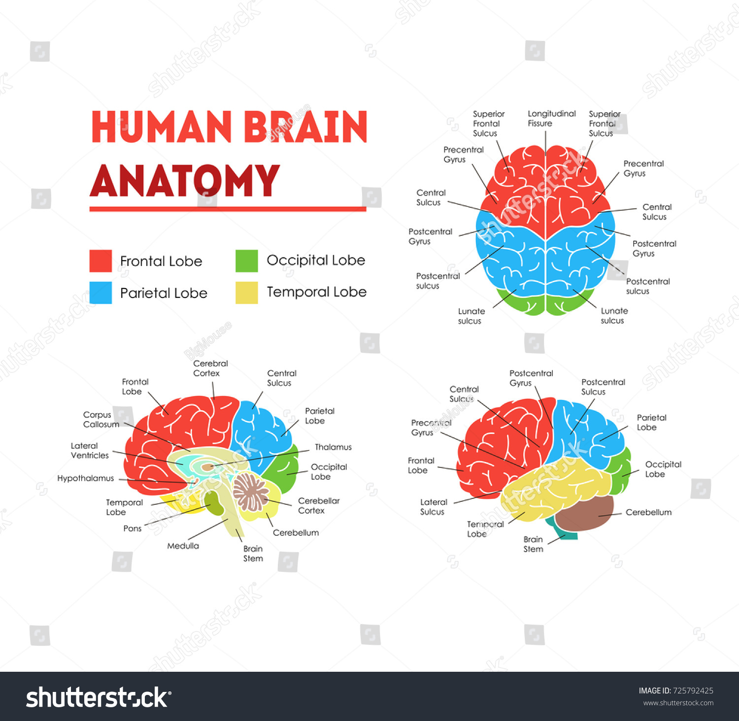 Human Brain Anatomy Infographic Card Poster Stock Vector (Royalty ...