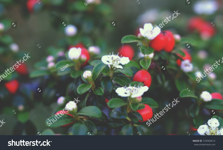 Bush White Flowers Red Berries Stock Photo Edit Now 725969614