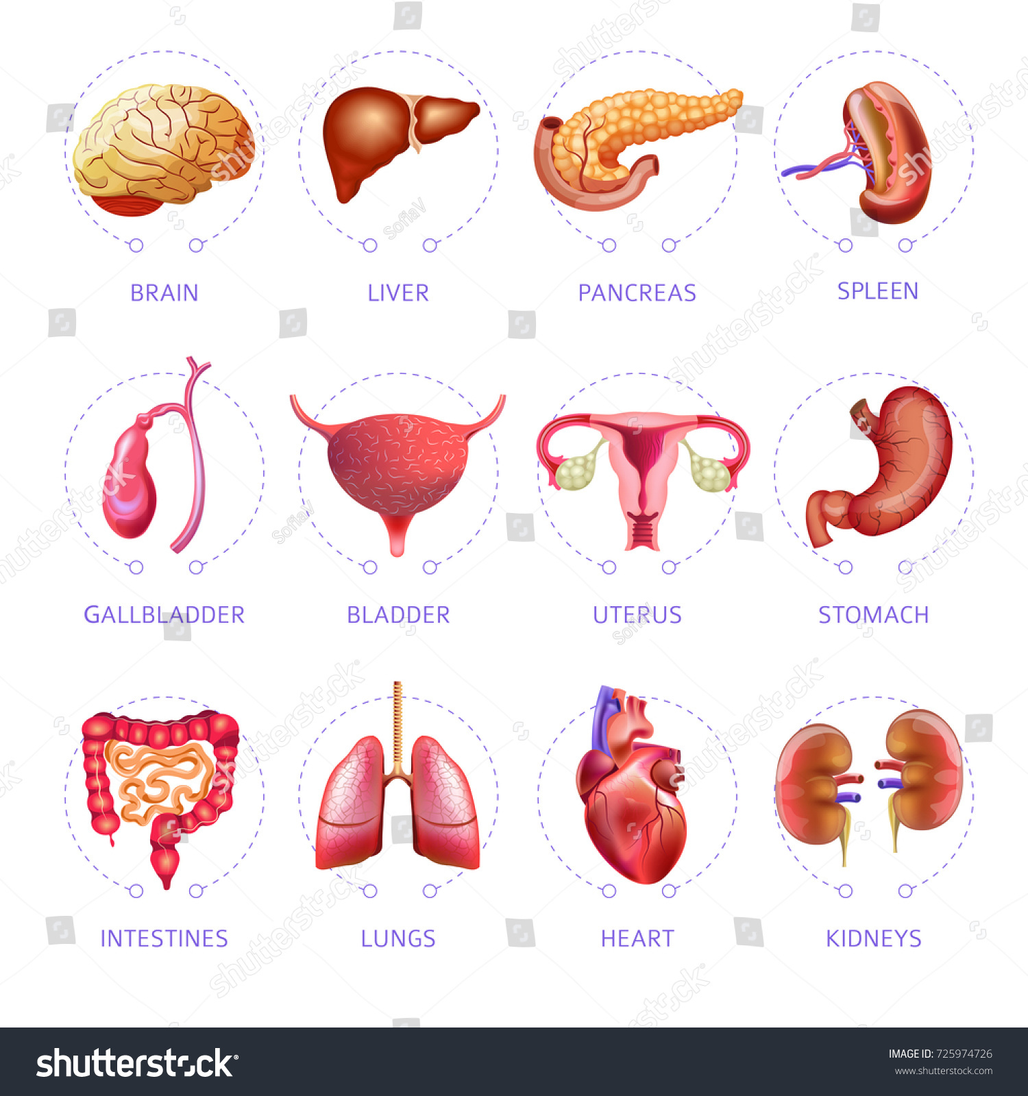Human Body Internal Organs Medical Vector Stock Vector Royalty Free