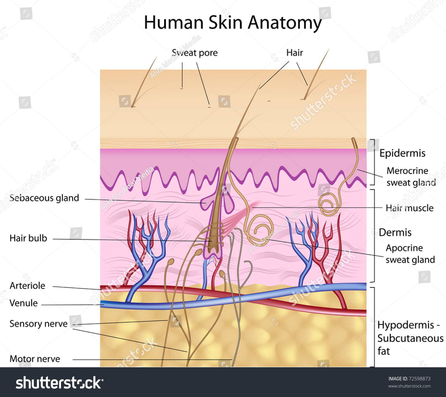 Human Skin Anatomy Detailed Accurate Labeled Stock Illustration ...