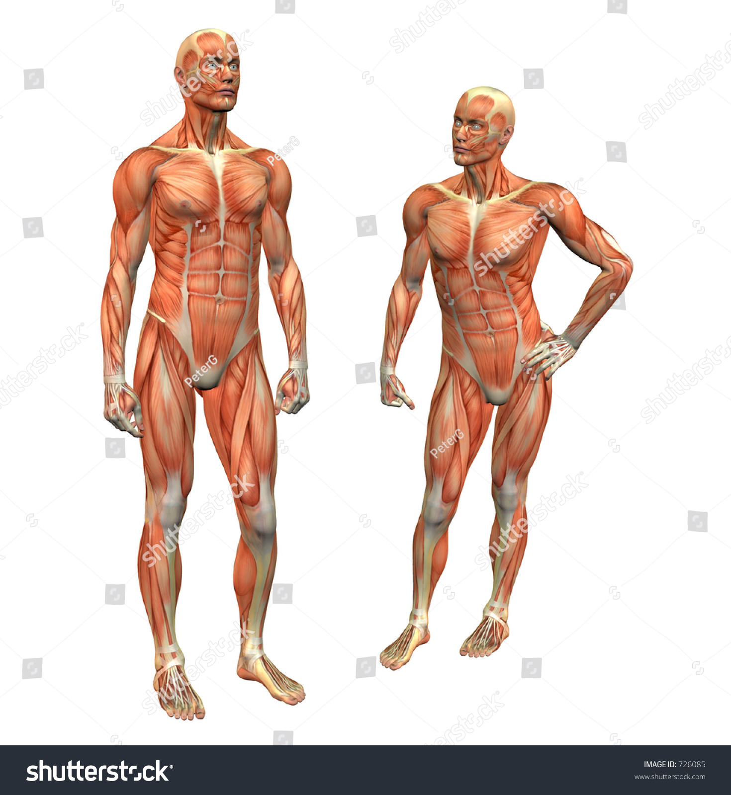 Anatomy Muscle Man Standing W Clipping Stock Illustration 726085 ...