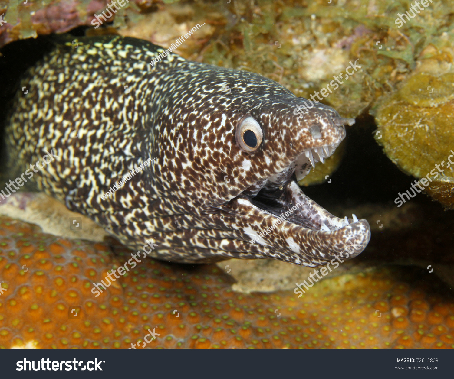 Coral Snake Mouth: Exotic Spotted Moray Mouth Open Showing Stock Photo